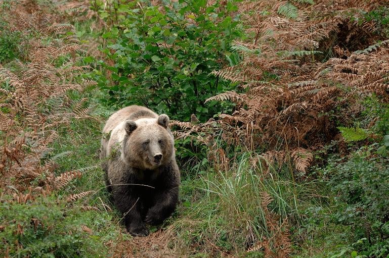 Tehnika kočevskega medveda